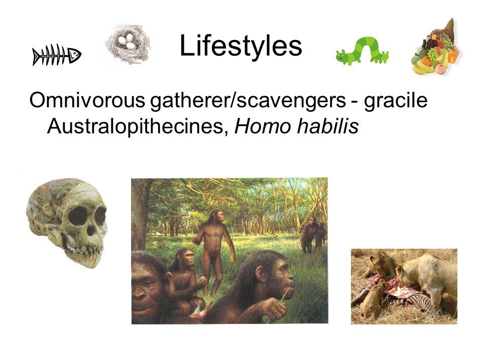 Lifestyles Omnivorous gatherer/scavengers - gracile Australopithecines, Homo habilis