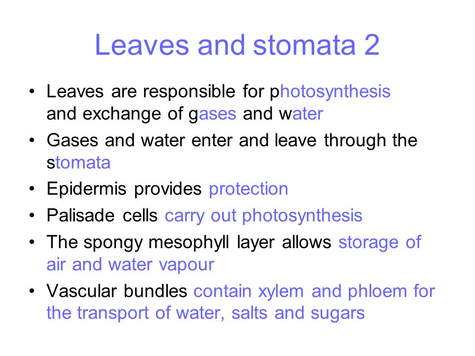 Leaves and stomata 2 Leaves are responsible for photosynthesis and exchange of gases and water.