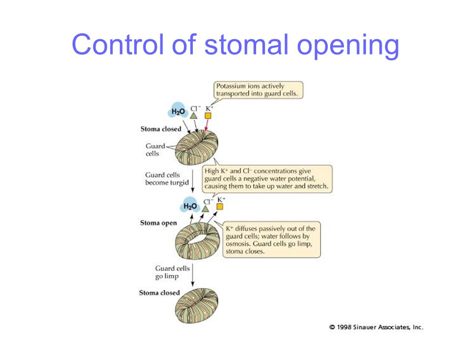Control of stomal opening