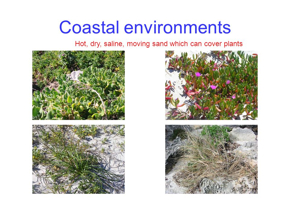 Coastal environments Hot, dry, saline, moving sand which can cover plants