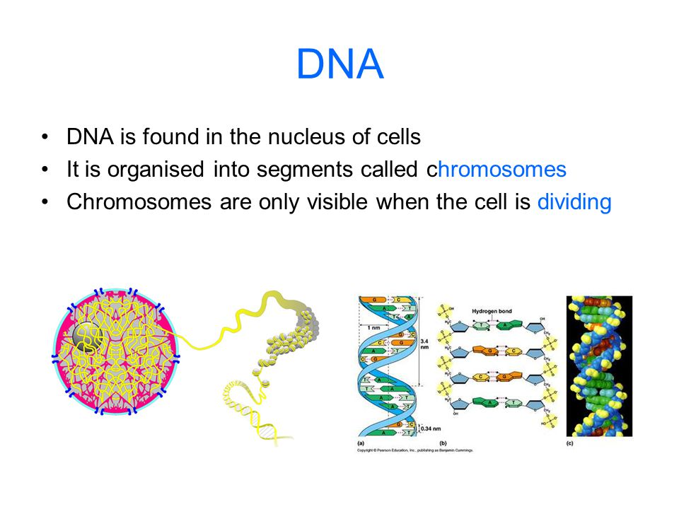 DNA DNA is found in the nucleus of cells