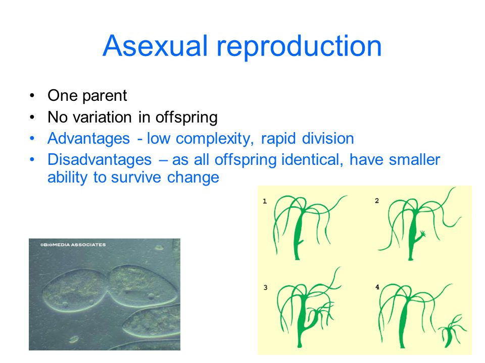 Asexual reproduction One parent No variation in offspring