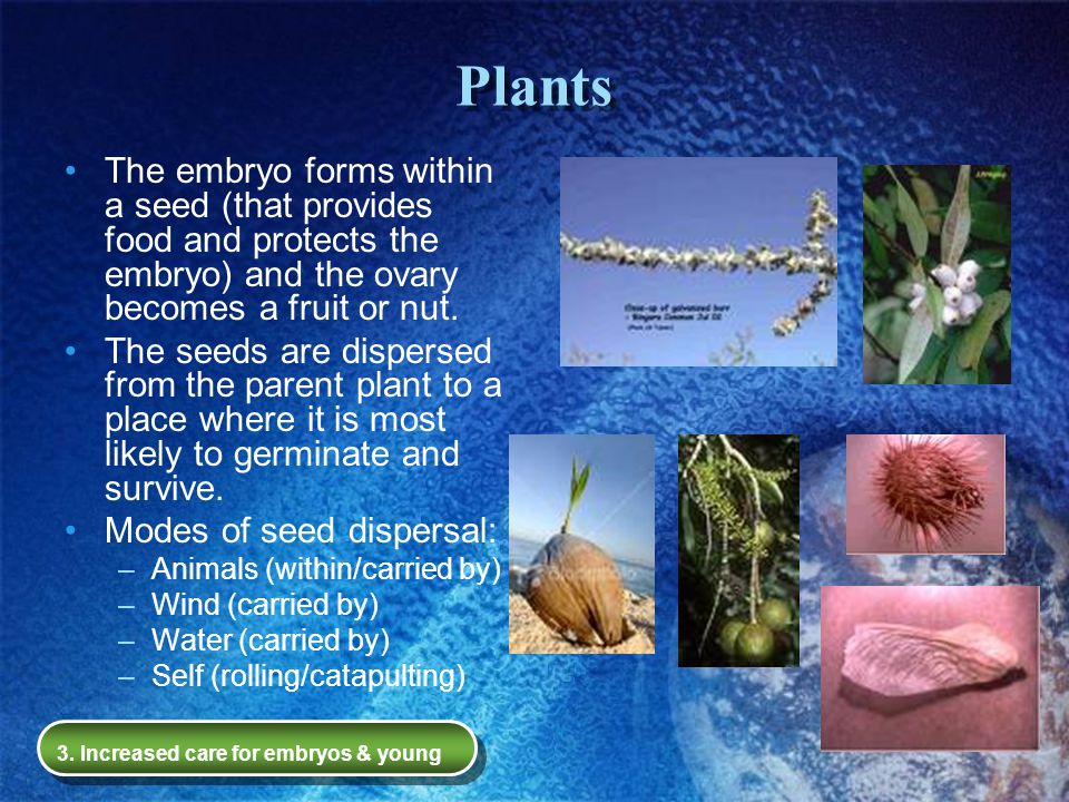 Plants The embryo forms within a seed (that provides food and protects the embryo) and the ovary becomes a fruit or nut.