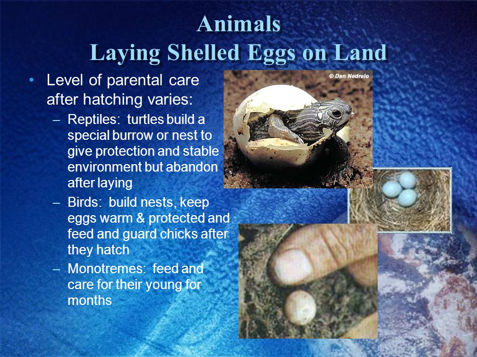 Animals Laying Shelled Eggs on Land