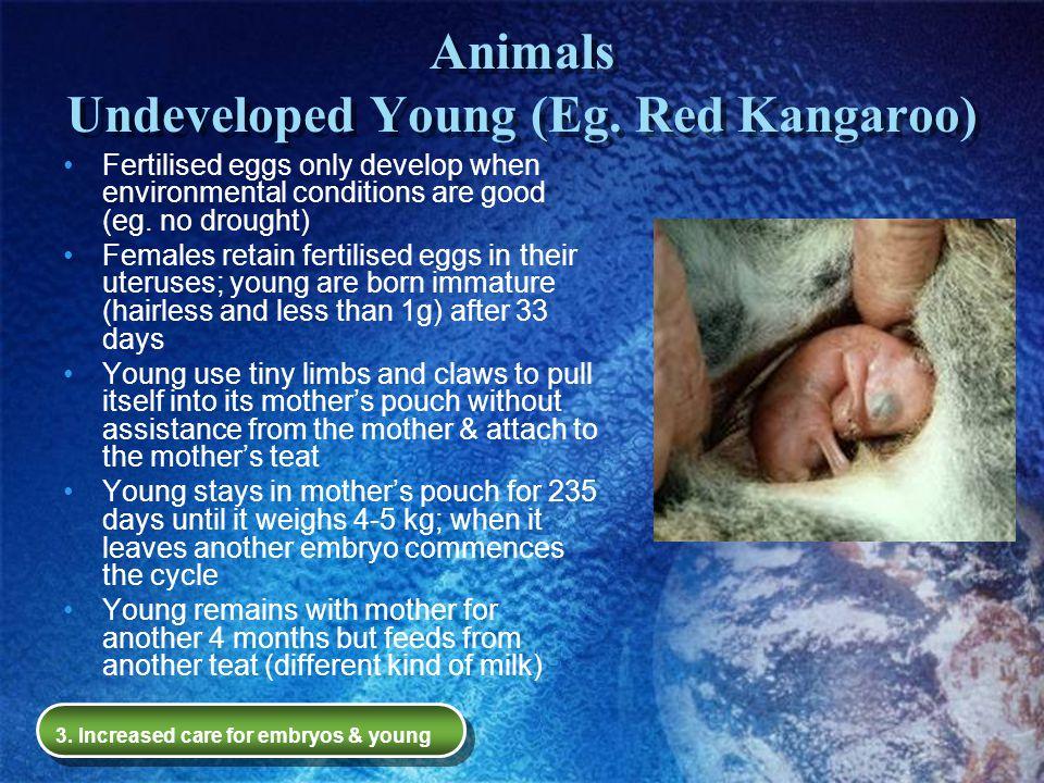 Animals Undeveloped Young (Eg. Red Kangaroo)