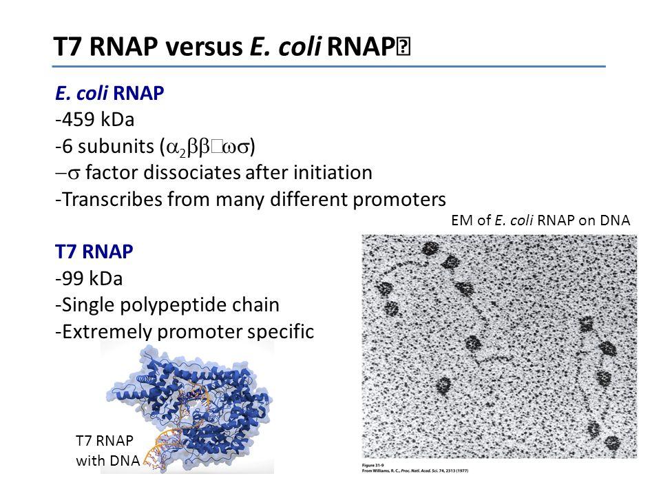 T7 RNAP versus E. coli RNAP