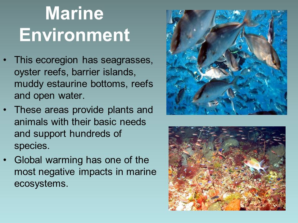 Marine Environment This ecoregion has seagrasses, oyster reefs, barrier islands, muddy estaurine bottoms, reefs and open water.