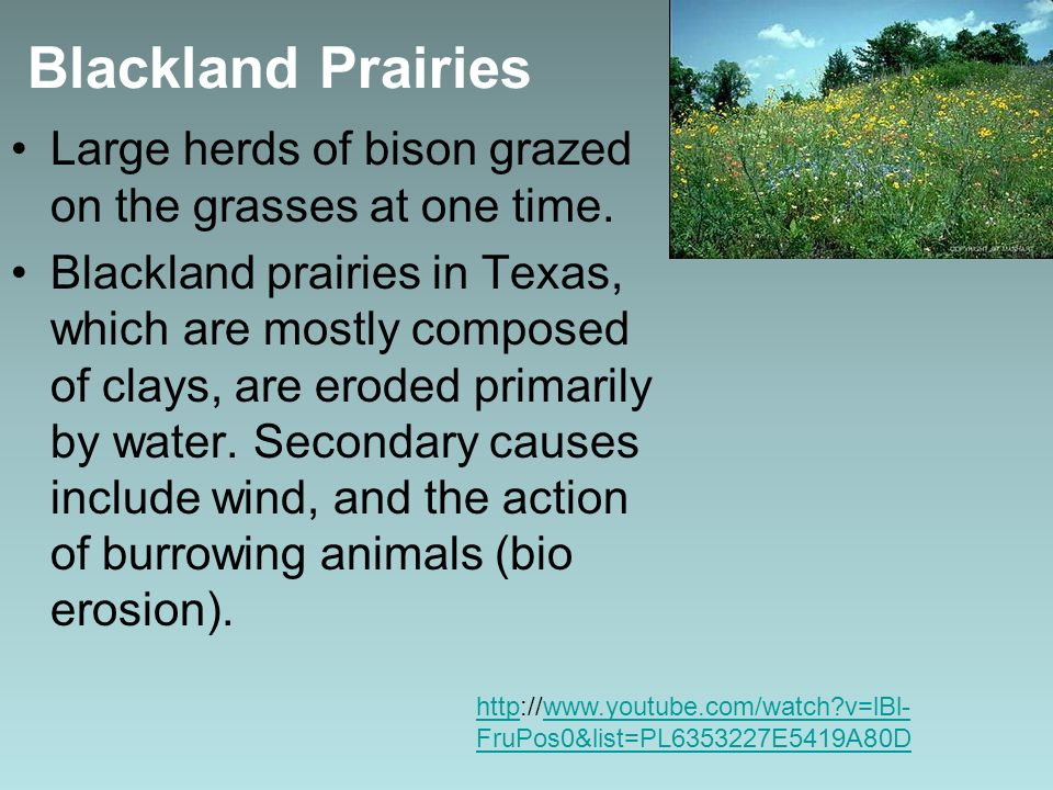 Blackland Prairies Large herds of bison grazed on the grasses at one time.