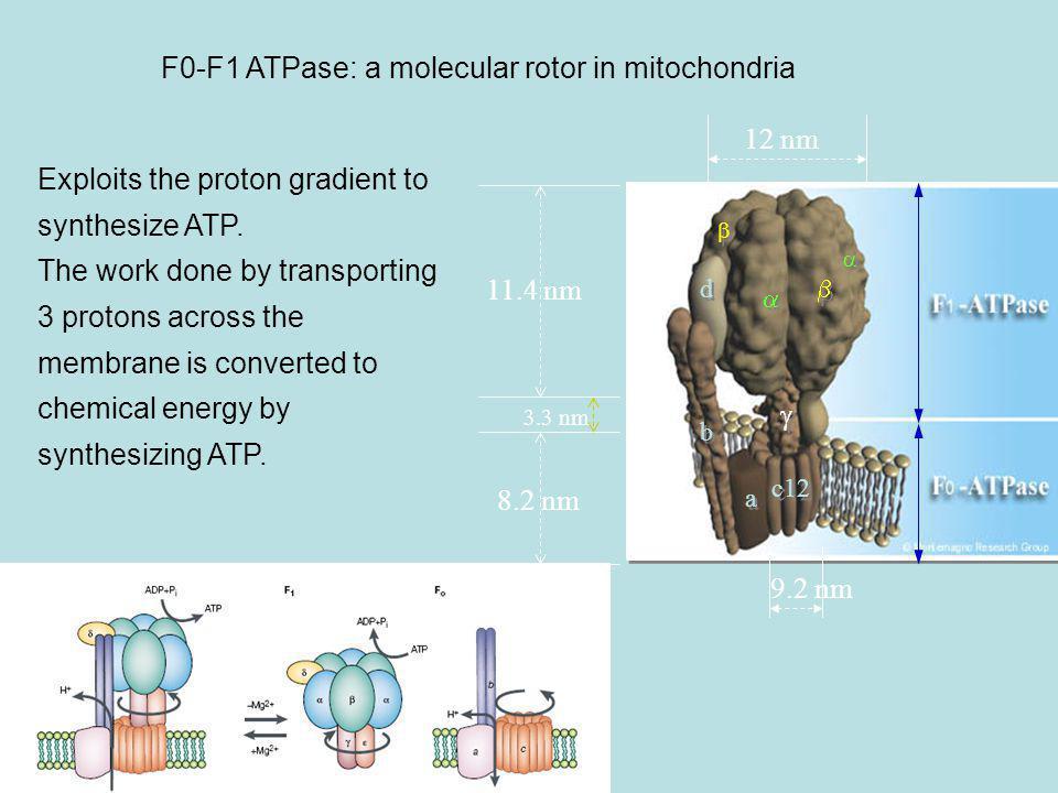 F0-F1 ATPase: a molecular rotor in mitochondria