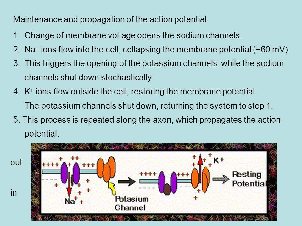 Maintenance and propagation of the action potential: