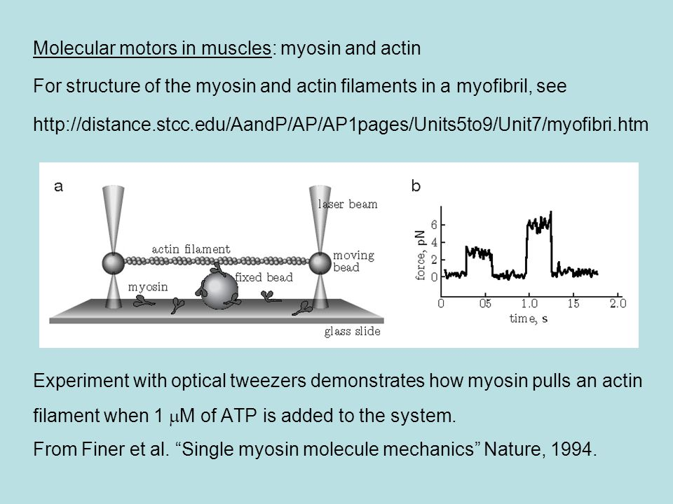 Molecular motors in muscles: myosin and actin