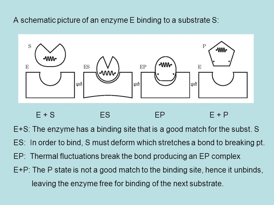 A schematic picture of an enzyme E binding to a substrate S: