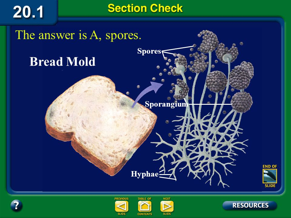 The answer is A, spores. Bread Mold Spores Sporangium Hyphae