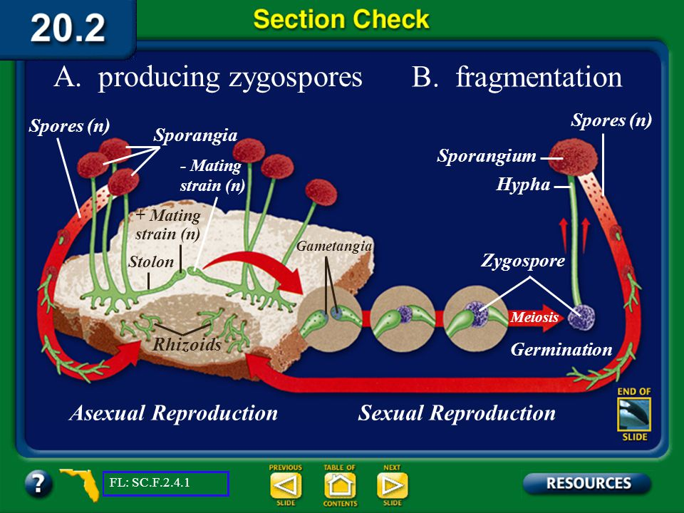 A. producing zygospores B. fragmentation