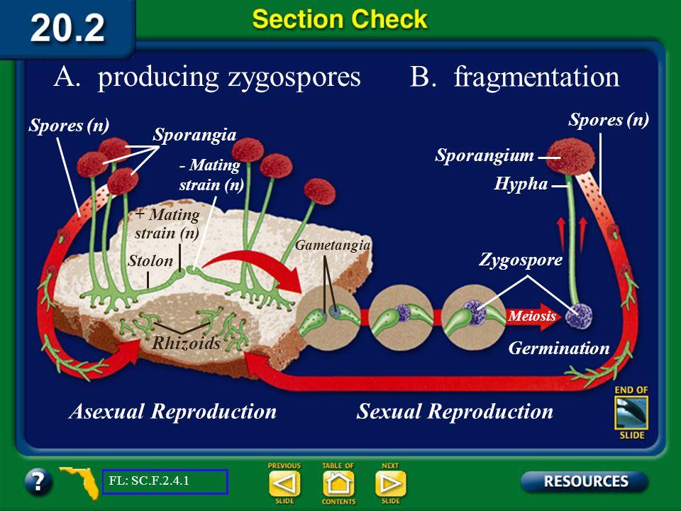 A. producing zygospores B. fragmentation