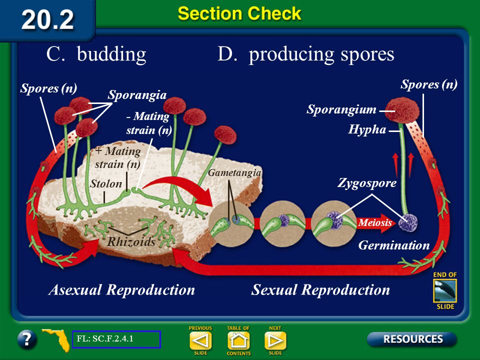 C. budding D. producing spores Asexual Reproduction