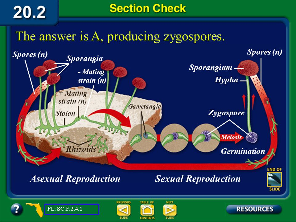 The answer is A, producing zygospores.