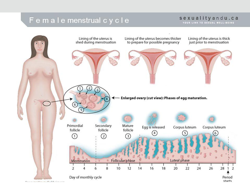 F e m a l e menstrual c y c l e