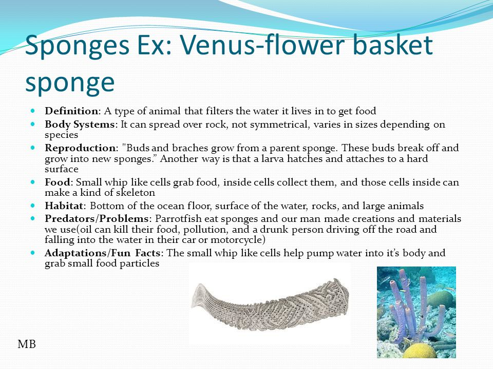 Sponges Ex: Venus-flower basket sponge