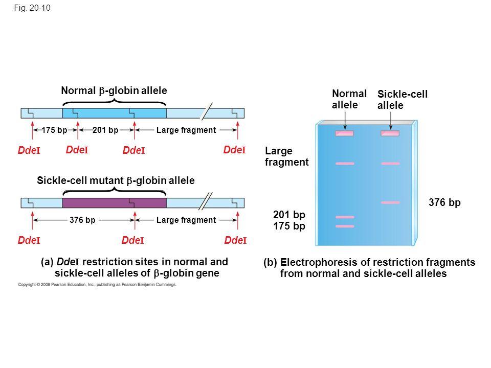 Fig. 20-10 Normal -globin allele. Normal allele. Sickle-cell allele. 175 bp. 201 bp. Large fragment.