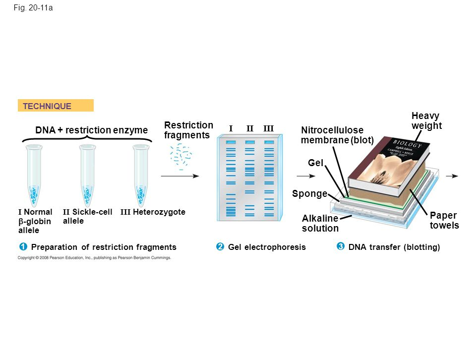 Restriction fragments DNA + restriction enzyme I II III