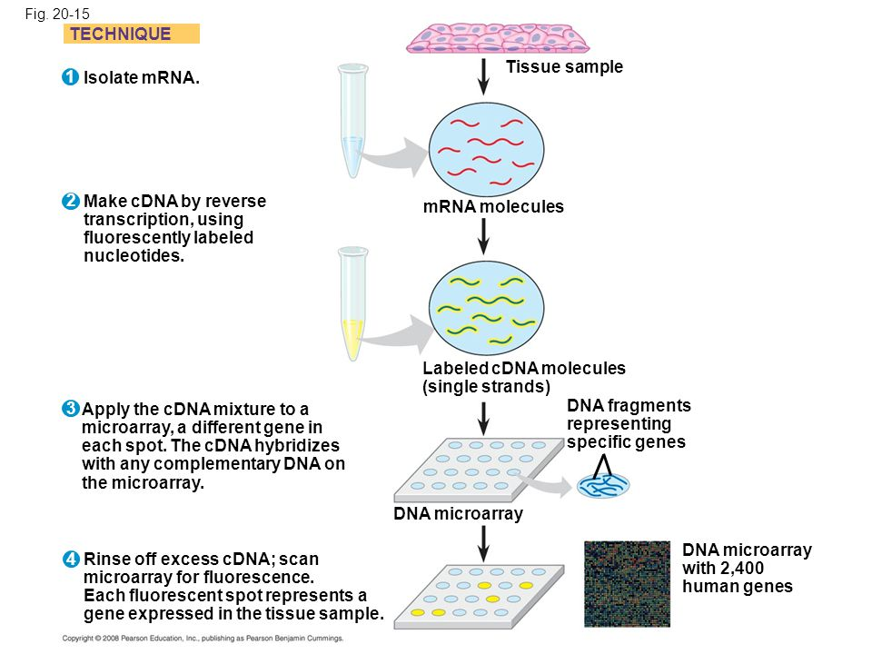 Labeled cDNA molecules (single strands)