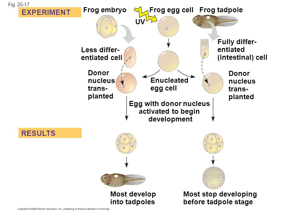 EXPERIMENT RESULTS Frog embryo Frog egg cell Frog tadpole UV