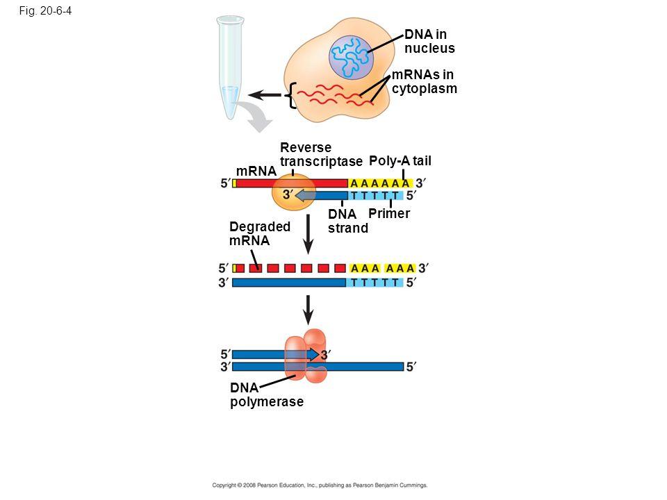 Reverse transcriptase Poly-A tail mRNA