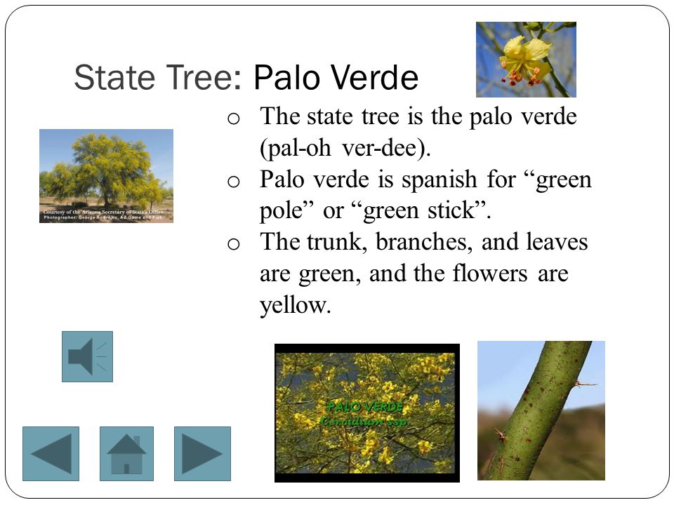 Click the palo verde flower above to watch a video.