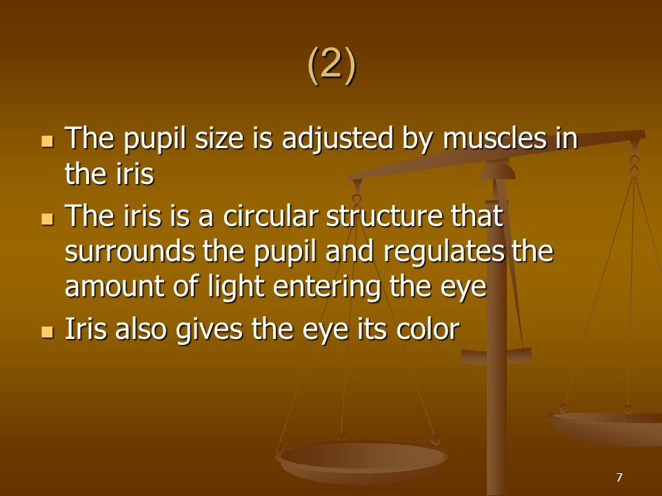 (2) The pupil size is adjusted by muscles in the iris