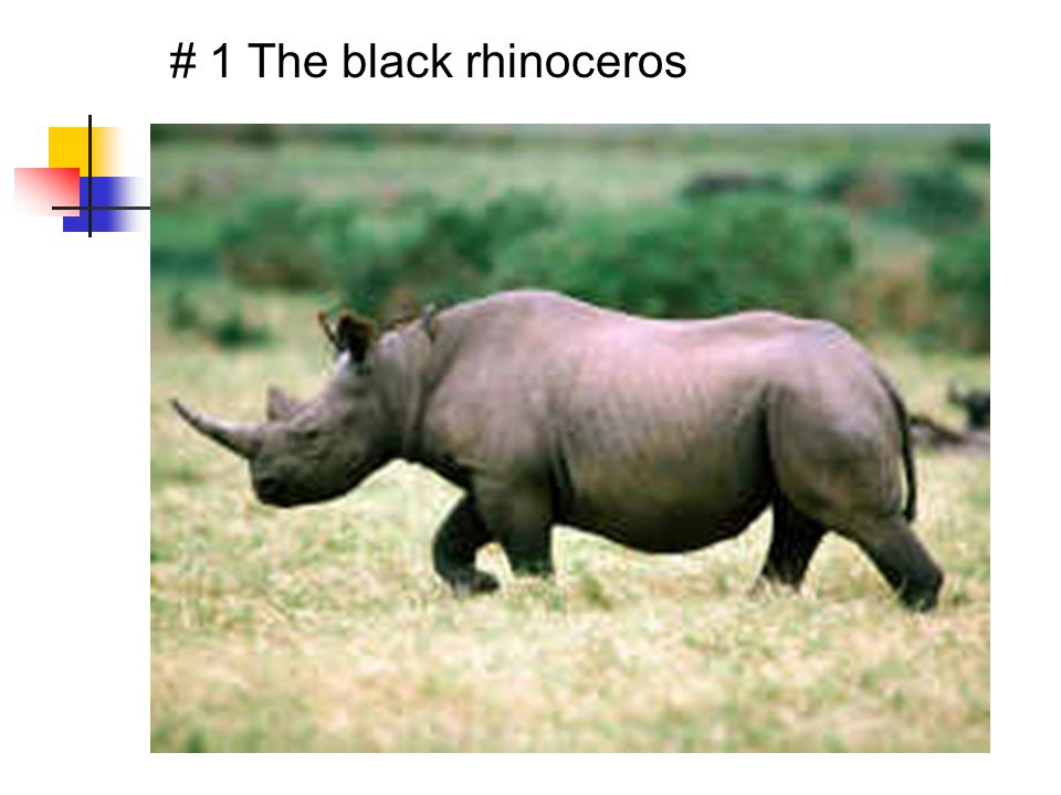 # 1 The black rhinoceros