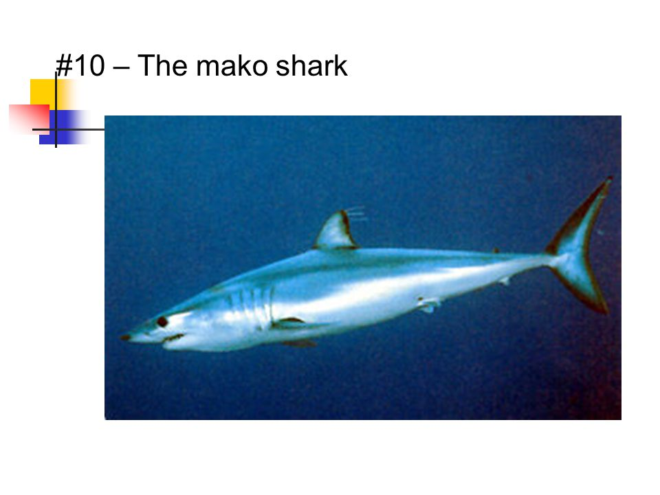 #10 – The mako shark
