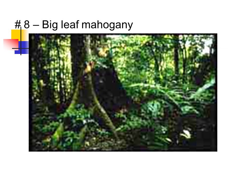 # 8 – Big leaf mahogany