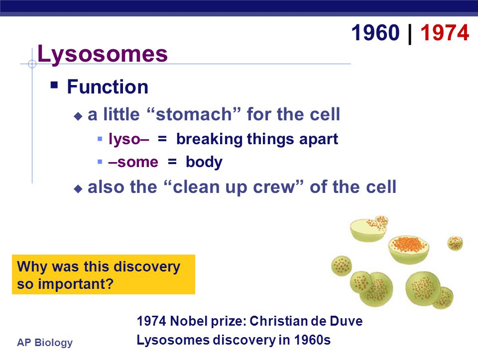 Lysosomes 1960 | 1974 Function a little stomach for the cell