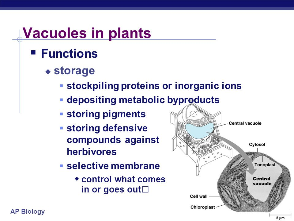 Vacuoles in plants Functions storage