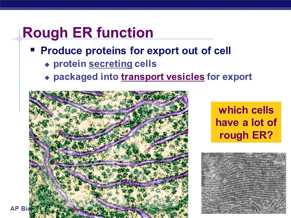 which cells have a lot of rough ER