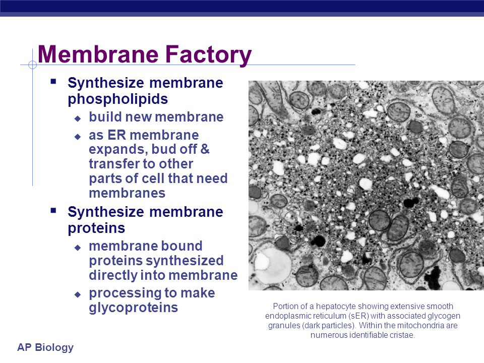Membrane Factory Synthesize membrane phospholipids