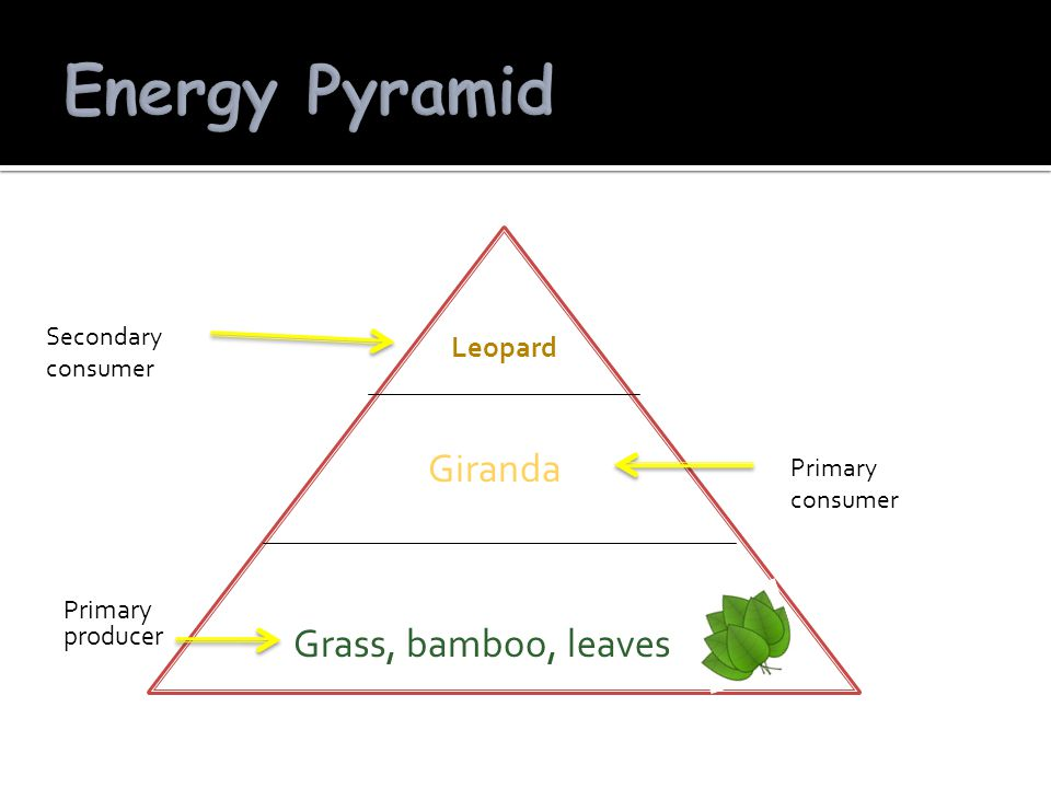 Energy Pyramid Giranda Grass, bamboo, leaves Leopard Primary producer