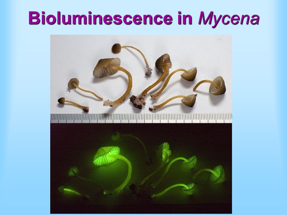 Bioluminescence in Mycena