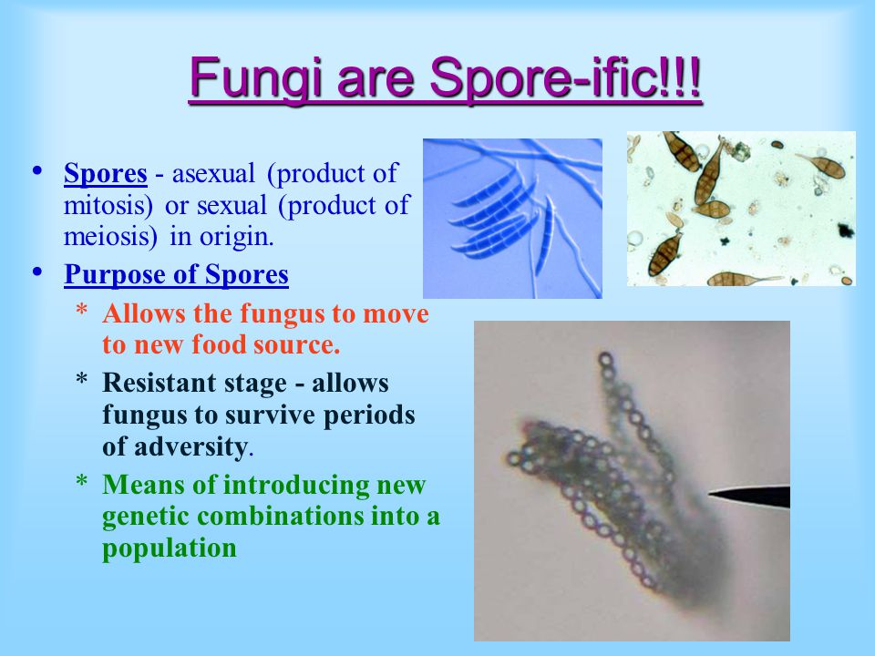 Fungi are Spore-ific!!! Spores - asexual (product of mitosis) or sexual (product of meiosis) in origin.
