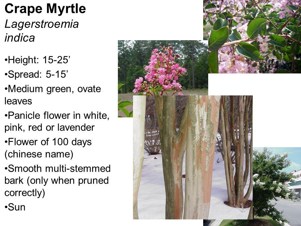 Crape Myrtle Lagerstroemia indica