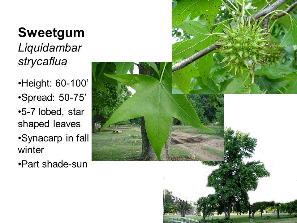 Sweetgum Liquidambar strycaflua