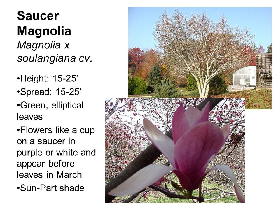 Saucer Magnolia Magnolia x soulangiana cv.