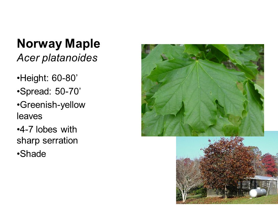 Norway Maple Acer platanoides