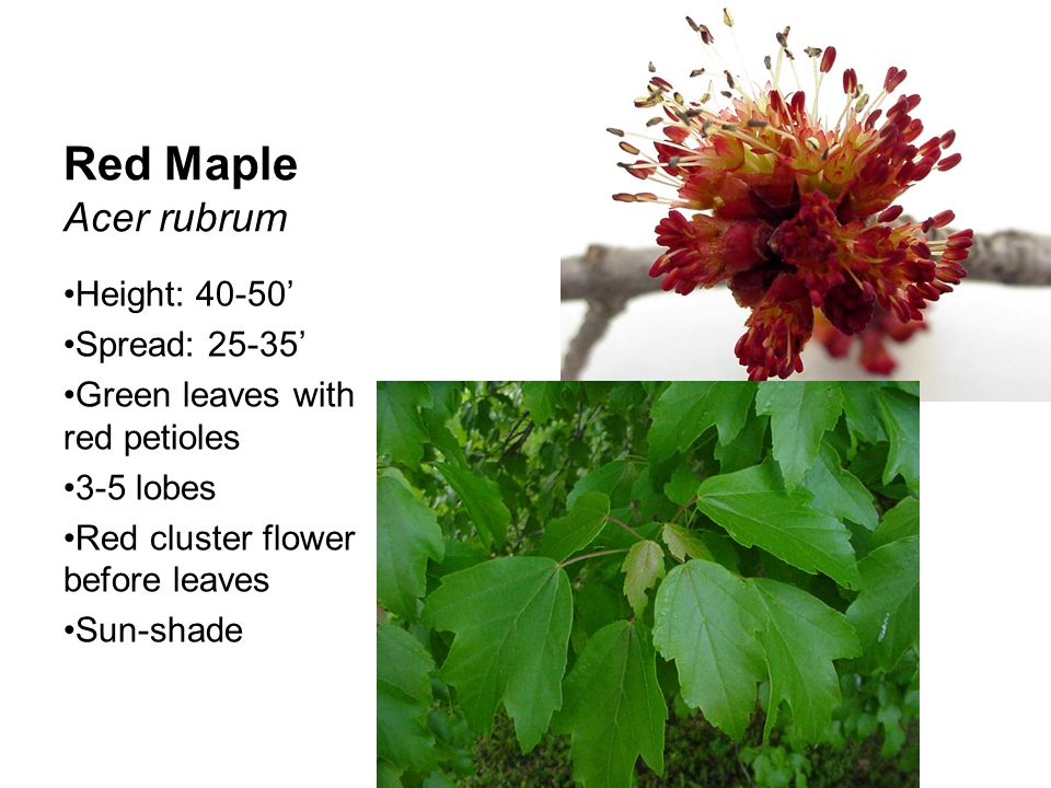 Red Maple Acer rubrum Height: 40-50' Spread: 25-35'