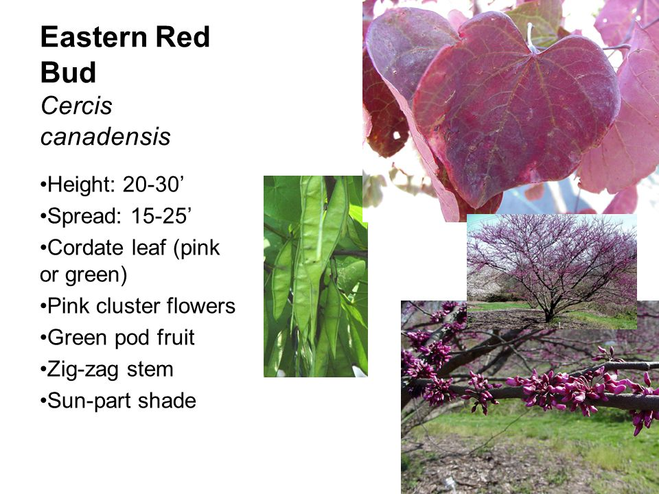 Eastern Red Bud Cercis canadensis