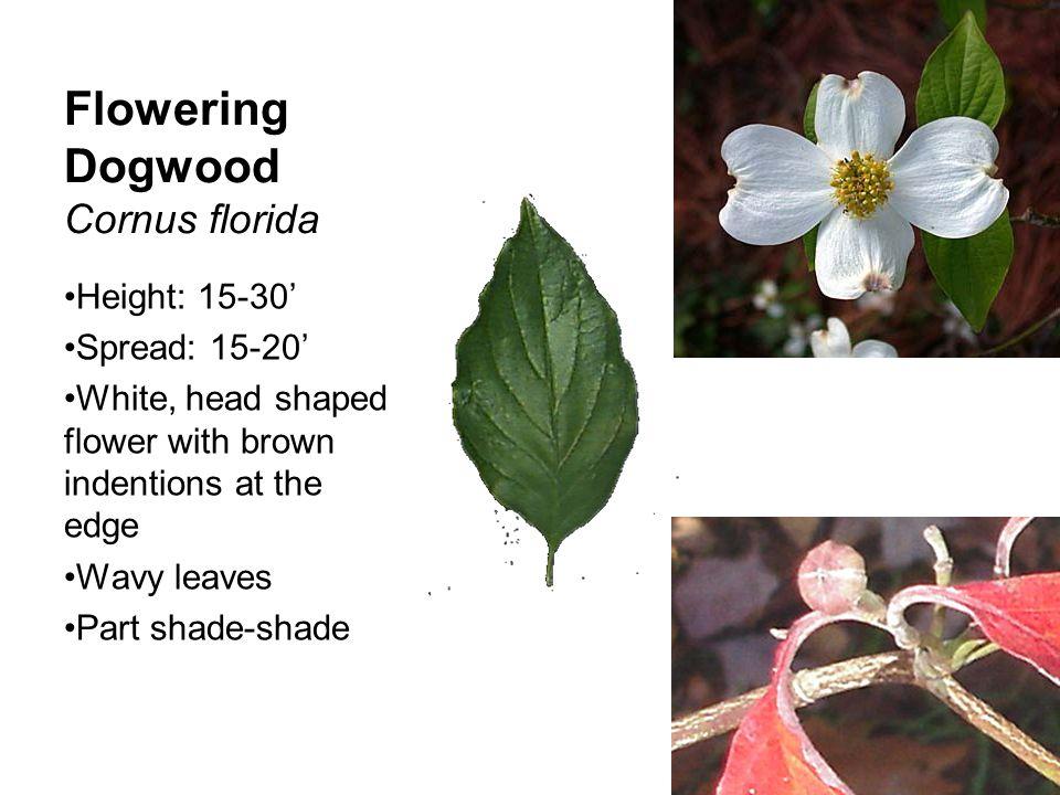 Flowering Dogwood Cornus florida