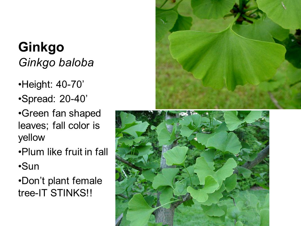 Ginkgo Ginkgo baloba Height: 40-70' Spread: 20-40'