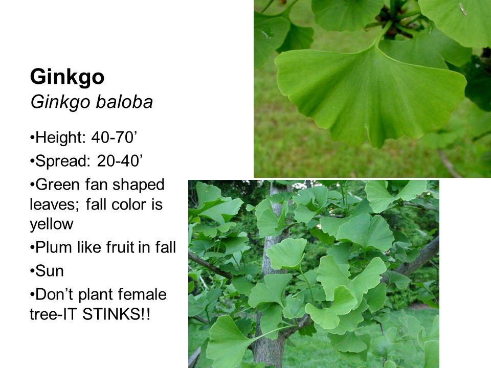 Ginkgo Ginkgo baloba Height: 40-70' Spread: 20-40'