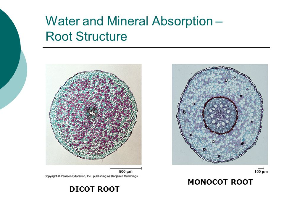 Water and Mineral Absorption – Root Structure